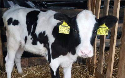 Kimagasló tenyészértékű üsző született a Milkmennél