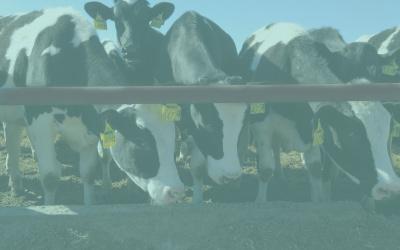 A Milkmen Kft. genomvizsgált üszőiről